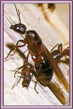 Carpenter ants in house uk