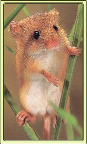 Gledwood Vol 4 (new main blog) : I Love Harvest Mice
