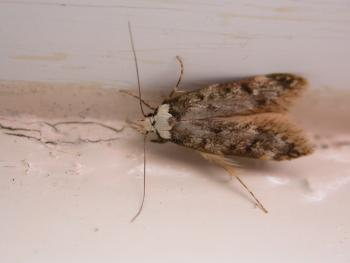 how to kill moths in house